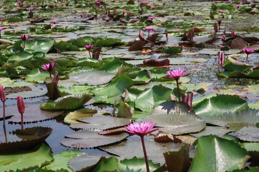 red lotus floating market thailand